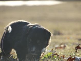 Australian Shepherd Puppy For Sale in OZARK, AR, USA