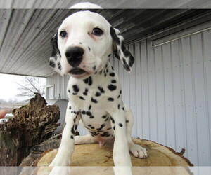 Dalmatian Puppy for sale in KOKOMO, IN, USA