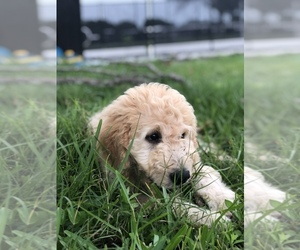 Goldendoodle Puppy For Sale near 34251, Myakka City, FL, USA