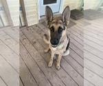 German Shepherd Dog Puppy For Sale in CHARLESTON, SC, USA