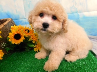 Poodle (Miniature) Puppy For Sale in HAMMOND, IN, USA