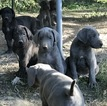Great Dane Puppy For Sale in MARSHALL, MO,