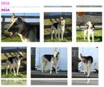 Small #655 German Shepherd Dog