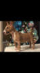 Miniature Bull Terrier Puppy For Sale in EASLEY, SC, USA