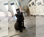 Small Photo #1 French Bulldog Puppy For Sale in CORONA, CA, USA