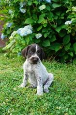 German Wirehaired Pointer Puppy For Sale in BESSEMER, AL, USA