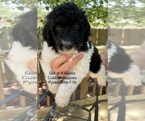 Pyredoodle Puppy for sale in GEORGETOWN, TX, USA