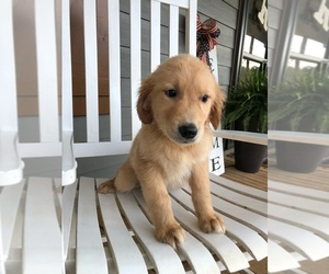 Golden Retriever Puppy for sale in GAFFNEY, SC, USA