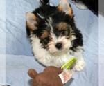 Biewer Terrier Puppy For Sale in GREENSBURG, IN, USA