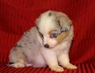 Miniature Australian Shepherd Puppy For Sale in DALLAS, TX