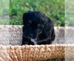 Puppy 2 Bernese Hound-Poodle (Miniature) Mix