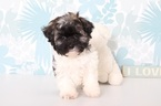 Havanese Puppy For Sale in NAPLES, Florida,
