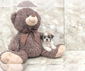 Zuchon Puppy for sale in CLEVELAND, NC, USA