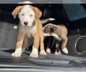 American Pit Bull Terrier-Labrador Retriever Mix Puppy for Sale in DETROIT, Michigan USA