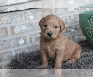 English Cream Golden Retriever-Poodle (Standard) Mix Puppy for Sale in ADOLPHUS, Kentucky USA