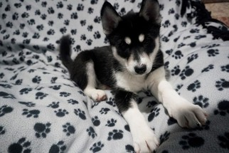 Siberian Husky Puppy For Sale in CLARKLAKE, MI, USA