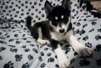 Siberian Husky Puppy For Sale in CLARKLAKE, Michigan,