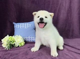 Shiba Inu Puppy for sale in PHILADELPHIA, PA, USA