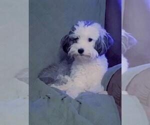Aussie-Poo Puppy for Sale in REEDS SPRING, Missouri USA