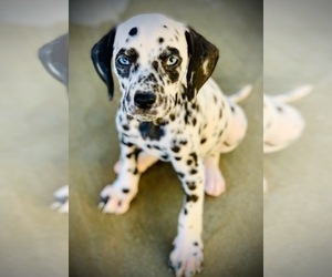 Dalmatian Puppy for sale in HESPERIA, CA, USA