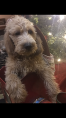 Poodle (Standard)-Spinone Italiano Mix Puppy For Sale in CLEVELAND, OH, USA