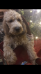 Puppy 7 Poodle (Standard)-Spinone Italiano Mix