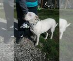 Small #153 Bull Terrier-Labrador Retriever Mix
