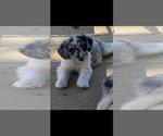 Puppy 3 Aussie-Poo