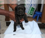 Small Photo #4 Cane Corso Puppy For Sale in MIAMI GARDENS, FL, USA