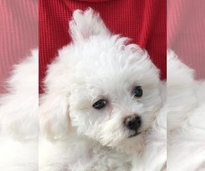 Bichon Frise Puppy for sale in BEALETON, VA, USA