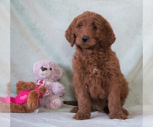 Goldendoodle Dog for Adoption in FREDERICKSBG, Ohio USA