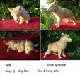 Wolf Hybrid Puppy For Sale in POWELL, TN, USA