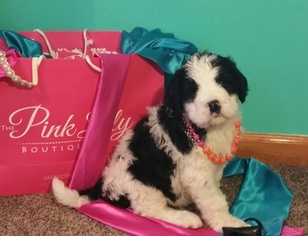 Saint Berdoodle Puppy For Sale in ELKTON, KY, USA
