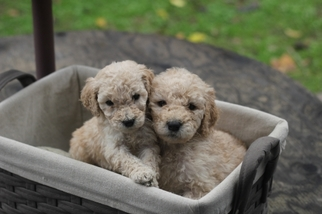 Poodle (Standard) Puppy for sale in Citrus Heights, CA, USA