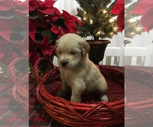 Golden Retriever Puppy for sale in CARROLLTON, VA, USA