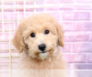 Goldendoodle Puppy for Sale in BEL AIR, Maryland USA