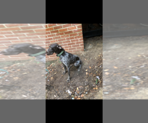 German Shorthaired Pointer Puppy for sale in MACON, GA, USA