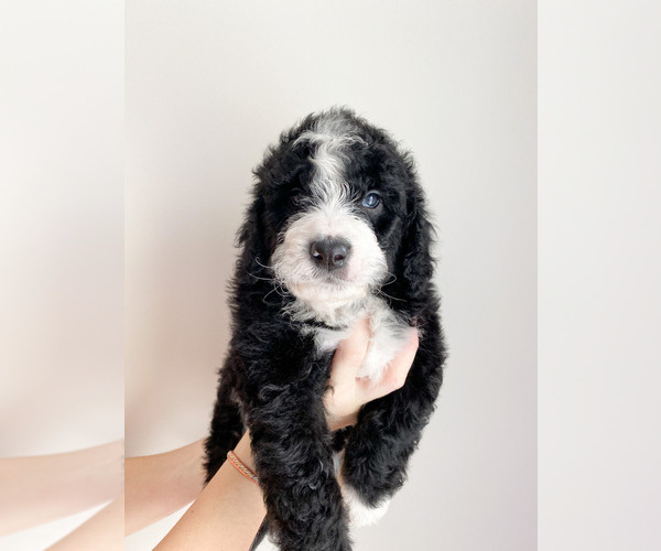 Medium Photo #1 Bernedoodle Puppy For Sale in COLUMBIA, MO, USA