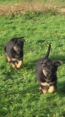 AKC German Shepherd Male Puppy