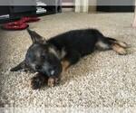 German Shepherd Dog Puppy For Sale in YPSILANTI, MI, USA