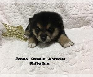 Shiba Inu Puppy for sale in CLARKRANGE, TN, USA