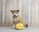 Shiba Inu Puppy For Sale in PORTSMOUTH, OH, USA