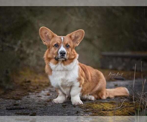 View Ad: Cardigan Welsh Corgi Puppy for Sale near In Italy