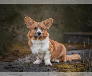 Cardigan Welsh Corgi Dog for Adoption in Weilburg, Hesse Germany
