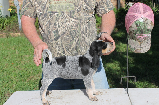 View Ad Bluetick Coonhound Litter Of Puppies For Sale Near Texas
