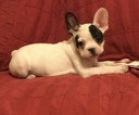 French Bulldog Puppy For Sale in ROGERSVILLE, MO, USA
