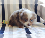 Small #1 Miniature Australian Shepherd