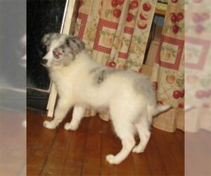 Australian Eskimo-Australian Shepherd Mix Puppy for sale in CAMPBELL, MN, USA