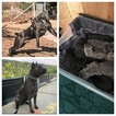 Cane Corso Puppy For Sale in FAIRFIELD, CA,
