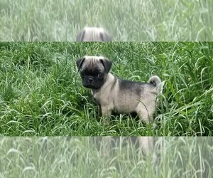 Pug Puppy for Sale in BREWSTER, Colorado USA